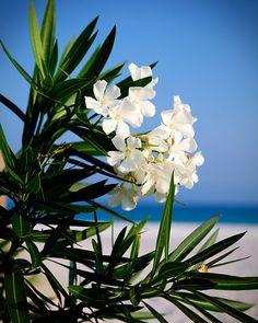 """""""White Oleander"""""""