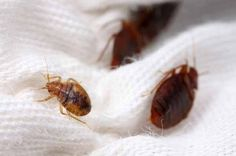 Bedbugs, also known as bed bugs, are small, brownish-colored parasitic insects. Bedbugs can bite human or animal skin to suck their blood. Usually bedbugs are lodged in the cracks of the mattress, the spring box, the back of the bed, the bed frame, or other objects around the mattress. Although it is harmless and does not spread infectious diseases, the bed bug bites can cause bodily reactions and cause psychological stress if persistent