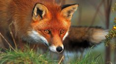 ANIMALS TIME : Red fox time (Hora del zorro rojo)