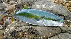 Kingfish Off The Rocks VI – Great Barrier Island