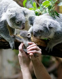 This Koala family is so cute Cute Funny Animals, Cute Baby Animals, Animals And Pets, Wild Animals, Baby Koala, Baby Baby, Australian Animals, Cute Animal Pictures, Pet Birds