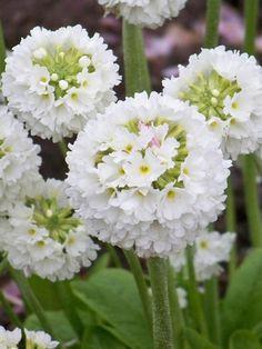 Vivace en touffes dressées. Porte du début au milieu du printemps des inflorescences sphériques de fleurs aplaties blanches, à l'extrémité de tiges robustes. Feuilles vert moyen spatulées et dentées.