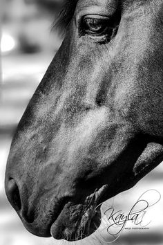 The noble face of the glorious Waler Stallion, Newhaven Snap | http//:kaylamills.weebly.com
