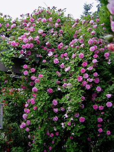 Zephirine Drouhin -- shade tolerant, thornless climber. For the gazebo and fence.