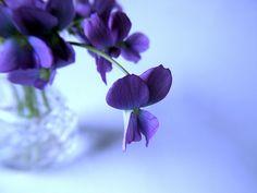 Deep Purple Violets. Photograph by Judwal.