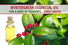 Do you use wintergreen oil or any other essential oils for good health or cancer prevention? Here is more information about this incredible plant, how it can help thwart cancer development, and what the American Botanical Society has to say about it.