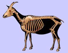 Anatomy of the Goat