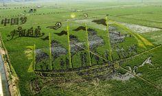 Chinese farmers grow extraordinary rice paddy #art in vast fields. #landart