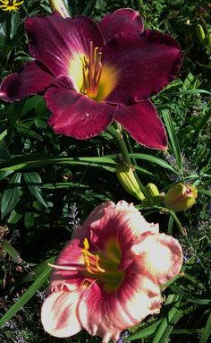 You can always find a perfect combination with Daylilies. From today's garden. And don't forget to check the post.