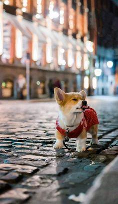 Cute Corgi, Corgi Dog, Cute Puppies, Corgi Pembroke, Corgi Wallpaper, Cute Puppy Wallpaper, Cute Animal Photos, Cute Pictures, Animals And Pets