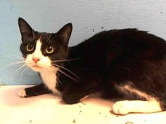3 year old Clarice needs out of NYCACC NOW!!! TO BE DESTROYED 5/23/13 Manhattan Center  My name is CLARICE. My Animal ID # is A0964986. I am a female black and white domestic sh mix. The shelter thinks I am about 3 YEARS old.  I came in the shelter as a STRAY on 05/11/2013 from NY 10467, owner surrender reason stated was STRAY. I came in with Group/Litter #K13-136952.