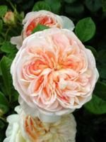 Alchymist   Rogue Valley Roses