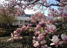 magnolia trees in bloom- there are four different kind of Magnolia trees