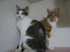シンクロ猫 茶太郎とミニタイガー