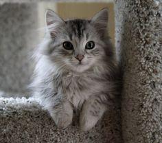 siberian cat  so beautiful :)