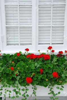 All the Resources to Succeed. red geraniums window box all around the house would be lovely.red geraniums window box all around the house would be lovely. Window Box Plants, Window Box Flowers, Window Planter Boxes, Flower Boxes, Container Gardening Vegetables, Succulents In Containers, Container Flowers, Container Plants, Vegetable Gardening