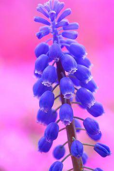 Muscari by Sky-Genta, via Flickr