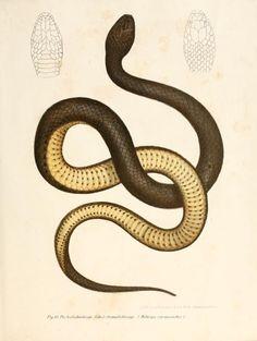 nemfrog: Fig. 83. Helicops Carnicaudus. Bilder-Atlas zur wissenschaftlich-popularen Naturgeschichte der Wirbelthiere. 1867.