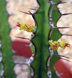 Euphorbia malevola cyathia I