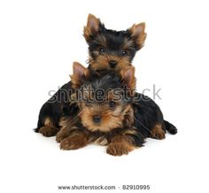 Two puppies of the Yorkshire Terrier isolated on white. One puppy is behind the other.