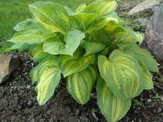 Hosta Imperial Moth Imperial, Plants, Beautiful Gardens, Geraniums, Geraniums Garden, Hostas, Gorgeous Gardens