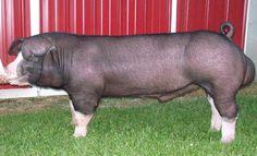 Poland China Hog