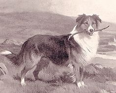 Queen Victoria's Scotch #Collies by Nick Waters
