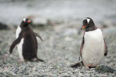 Gentoo Penguin, Penguins, Effort, Trips, Scenery, Wildlife, Cold, Amazing, Pictures