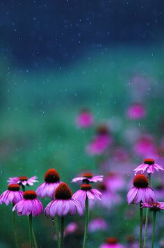 Purpurroter Sonnenhut - schön im Garten & stark gegen Erkältungen