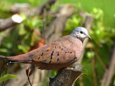 Ruddy ground dove (Columbina talpacoti)