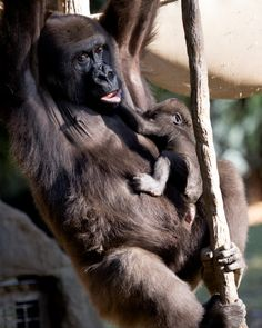 Betcha can't do this! Sukari the western lowland gorilla and her 1-month-old infant display their specially-adapted climbing (Mama) and clinging (baby) skills.  #CutenessZooATL