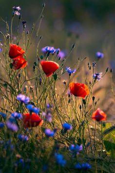 Cada uno pinta el marco de su Vida con los colores de sus decisiones... ॐ Field Of Poppies, Field Of Flowers, Wild Poppies, Hd Flowers, Meadow Flowers, Blue Flowers, Autumn Flowers, Poppy Flowers, Flowers Nature