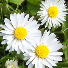 https://flic.kr/p/txPsz7 | Pretty - right under your feet! #upsticksandgo #white #flowers #underyourfeet #lookaround #naturephoto #travelgram #michfrost