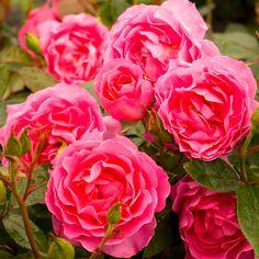Delbard Rosier Tige La Rose de Molinard®
