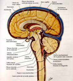 Circulation of Cerebrospinal Fluid Anatomy Choroid plexus of lateral ventricle ( phantom ) , Superior cerebral veins , Dura mater , Ar. Anatomy Head, Human Brain Anatomy, Human Anatomy And Physiology, Body Anatomy, Spinal Cord Anatomy, Nervous System Anatomy, Dura Mater, Cerebrospinal Fluid, Nursing