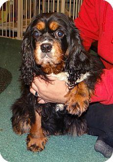 Wheeling, WV - Cavalier King Charles Spaniel. Meet KATIE, a dog for adoption. http://www.adoptapet.com/pet/15226949-wheeling-west-virginia-cavalier-king-charles-spaniel