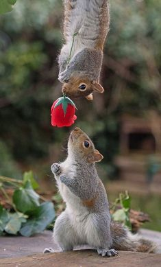 A romantic squirrel appears to have gone all-out for Valentines Day, presenting his love interest with a bright red rose. The shot was taken by renowned squirrel photographer Max Ellis, from Teddington, South West London. Cute Funny Animals, Cute Baby Animals, Nature Animals, Animals And Pets, Beautiful Creatures, Animals Beautiful, Romantic Animals, Cute Squirrel, Squirrels