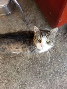 Katze auf dem Bauernhof Cats, Animals, Maine Coon Cats, Gatos, Animales, Animaux, Animal, Cat, Animais