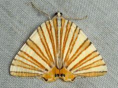 Geometer Moth, Pityeja histrionaria