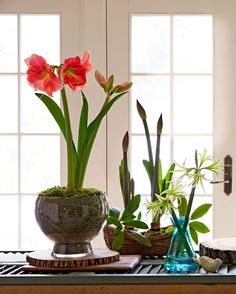 Group different types for a striking display. Find out more about these gorgeous flowers: http://www.midwestliving.com/garden/flowers/easy-and-elegant-amaryllis-displays/