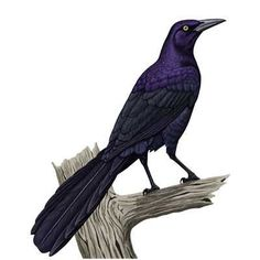great tailed grackle - Google Search