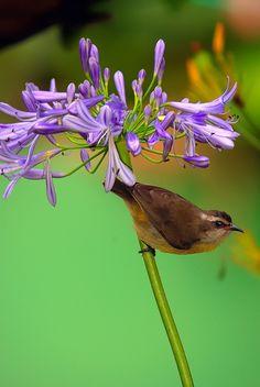 https://flic.kr/p/8UTMy9   Cambacica - Coebera flaveola   Flor - Softened Agapanthus www.flickr.com/photos/barbara-h/5191292033/
