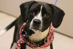 NAME:Hunt ANIMAL ID:28185421 BREED:Beagle mix SEX:Male- Neutered EST. AGE:2yr Est Weight:36lbs Health:heartworm neg Temperament:dof friendly, people friendly ADDITIONAL INFO: RESCUE PULL FEE:$49 Intake date:6/22 Available:Now