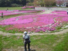 もち吉裏の芝桜です。きれいなピンク色ですね。