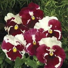 How to Grow & Care for Pansies! | Jersey Plants Direct Blog