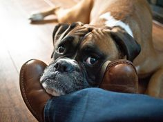 Don't forget I'm down here! Boxers love to rest their head on their person's feet :0)