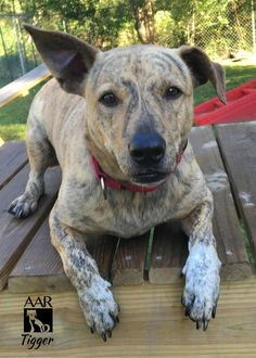 10/18/16-TOMBALL, TX-Meet Tigger, an adoptable Cattle Dog looking for a forever home. If you're looking for a new pet to adopt or want information on how to get involved with adoptable pets, Petfinder.com is a great resource.