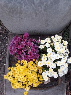 chrysanthemum chair.