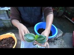 Curso de orquídeas on-line: El riego - YouTube