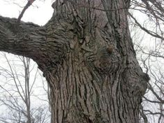 You've heard of Tree Beard.  This is Tree Boobs.